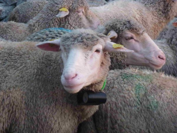 collier de repérage tracker boazu sur brebis