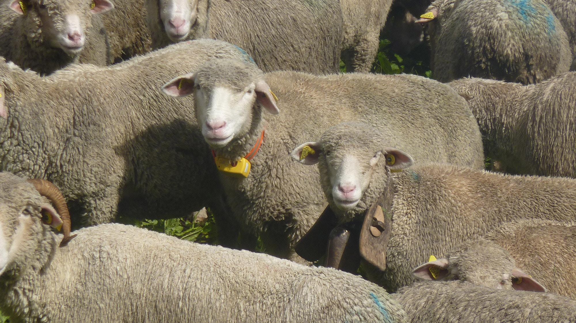 Collier GPS pour moutons